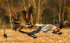 Taking Flight! (Rick Smotherman) Tags: wood autumn trees sky fall nature field leaves birds canon outdoors morninglight geese october wildlife flight 7d birdsinflight missouribirds canon7d canon14teleconverter