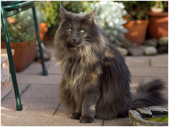 Not really a happy poser ! (FocusPocus Photography) Tags: forest cat garden feline chat kitty norwegian gato katze garten kater longhaired luan norweger coth kittysuperstar bestofcats kittyschoice catmoments langhaarkatze sunrays5