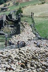 Transhumance des moutons