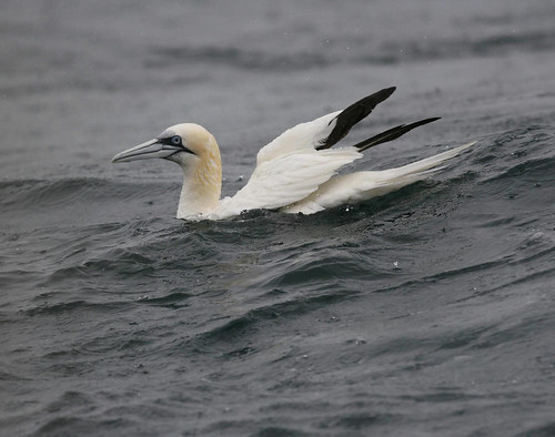"Gannet • <a style=""font-size:0.8em;"" href=""http://www.flickr.com/photos/30837261@N07/10722984216/"" target=""_blank"">View on Flickr</a>"