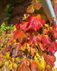 Boston Ivy 7 November 2013 7774b 8x10 (edgarandron - Busy!) Tags: plants vines ivy vine bostonivy