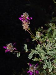 Delightful Dalea (desert native) Tags: arizona flower december tucson winterbloom cultivated dalea tucsongarden december2013 daleaversicolor milagrocohousing milagrogardens 3011northgarden milagro2013 middecemberbloomstucson