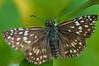 Pyrgus orcus (mcvmjr1971) Tags: macro brasil sãopaulo nikond50 pyrgus orcus