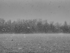 Eins og fugl  vatn (Lumase) Tags: trees winter lake snow cold bird topf25 water weather solitude nobody snowfall fugl vatn coldness fallingsnow greatcrestedgrebe podicepscristatus beautyinnature svassomaggiore lagodicaselette