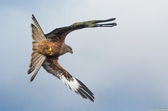 Red Kite (Eiona R.) Tags: wales unitedkingdom wfc redkite milvusmilvus llanddeusant canonef70300f4556doisusm canoneos700d llanddeusantredkitecentre