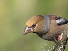 Hawfinch ( Coccothraustes coccothraustes ) (diegocon1964) Tags: españa jaen andujar hawfinch coccothraustescoccothraustes picogordo