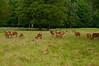 Fallow Deer Flock
