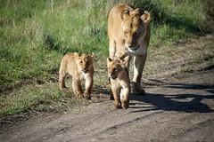 Lioness and cubs crossing the road _DSC0096 (riandar) Tags: africa cats nature animals kenya wildlife lion safari predator bigcats lioncubs masaimara eastafrica