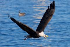 Get out of may way! (Schneider USA) Tags: mississippi spectacular amazing fishing eagle 14 baldeagle mississippiriver majestic soar baldeagles lockdam no14 leclaire lockanddam14 leclaireia lockdam14 lockdamno14 lockdamm