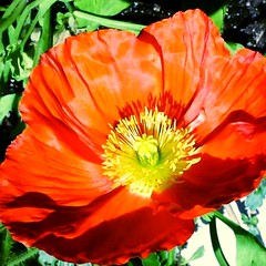 Scarlet 'Champagne Bubbles' (pawightm (Patricia)) Tags: austin texas springbulbs inmygarden centraltexas papavernudicaule icelandpoppies midfebruary backyardborder pawightm scarletchampagnebubblespoppies rscn8449215201431131pm