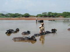 india (gerben more) Tags: buffalo southindia zuidindia1