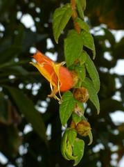 Columnea sp.? Gesneriaceae (Ecuador Megadiverso) Tags: naturaleza flower macro southamerica nature fleur ecuador flora wildlife natur flor equateur gesneriaceae blume makro fiore equador biodiversity biodiversidad sdamerika neotropical neotropics columneasp andreaskay