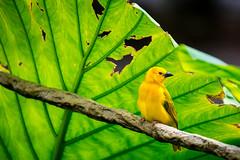 Animal Kingdom - Golden Weaver