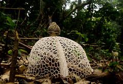 Phallus indusiatus (syn: Dictyophora indusiata) (zimbart) Tags: africa fungi phallus drcongo phallusindusiatus yangambi cobimfo phallidae