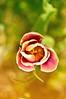 Tulip (rupertalbe - rupertalbegraphic) Tags: flower nature spring natura alberto tulip poppies basil mariani tulipano orto rupertalbe rupertalbegraphic