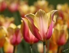 Perfect Petals (alanj2007) Tags: tulips albanyny canoneos5dmkiii washingtonpark 100mmmacrof28lisusm flowers