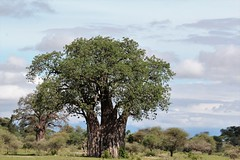 IMG_6164a - Baobab Tree (adansonia digitata), Tarangire National Park, Tanzania (GPS #432) (Wayne W G) Tags: africa tanzania tarangire tarangirenationalpark nature park parks eastafrica tree trees baobab flora malvales malvaceae adansonia adansoniadigitata adigitata