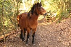 Dartmoor pony happy to see me (Karen Warren1) Tags: dartmoorpony dartmoor pony woodland forest walk1000miles2017 path