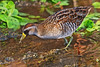 Sora Rail (cwnlsl) Tags: