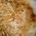 Marsh Cattail Seeds