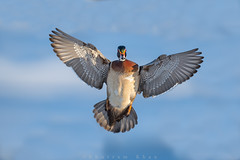 Flash of colors (Khurram Khan...) Tags: wildlife wildlifephotography wild woodducks wwwkhurramkhanphotocom winter frozen colors spring usa nikon nikkor birdphotogrpahy