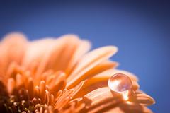 Equilibre (m@t.) Tags: 7dwf goutte fleur macro nature flower macromondays typedephoto flickr mt orangeandblue tamron90