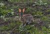 Desert Cottontail (Charlie Lee.) Tags: california southerncalifornia socal 캘리포니아 캘리포니아주 미국 서부 미국서부 irvine orangecounty 얼바인 peterscanyon peterscanyonregionalpark peterscanyonreservoir ocparks desertcottontail rabbit 토끼