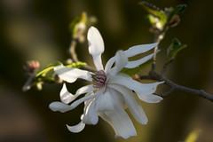 Magnolia Loebneri Kache (wietsej) Tags: magnolia loebneri kache flower sony fe 100mm f28 stf gm oss arboretum hetleen eeklo belgium bokeh sel100f28gm 100