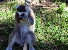 Lemur (ivonnebuenrostro) Tags: eating comiendo zoologico zoo lemur nature natualeza