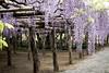 DSC_1692 (sayo-tsu) Tags: 埼玉県 春日部市 kasukabe saitama wisteria 藤 特別天然記念物 牛島のフジ