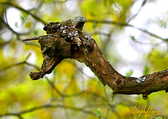 Dragon's Head (Box Brownie Brian) Tags: tree branch bark lichen bow whisbynaturereserve whisby boxbrowniebrian nikon