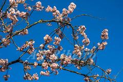 Alf Ribeiro 0135 0052 (Alf Ribeiro) Tags: corderosa flor flores galhos parqueurbano parquedocarmo planta prunussp regiãosudeste cerejeira ensolarado flora floração florida florido inverno zonaleste árvore