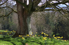 The Priory Gardens (Glenda Hall) Tags: benburbpriory benburb countytyrone tree branches scene landscape daffodils spring garden fence trees treetrunk canon80d canon march 2017 glendahall tamronmacrolens 90mm tamron90mm scenery nature