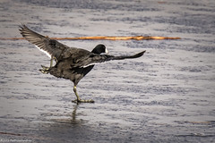 American Coot Takeoff or Skate-1 (wfgphoto) Tags: americancoot ice skate wings wingspread dance fun