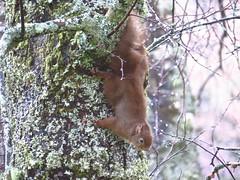8382 Red squirrel (Andy - Busyyyyyyyyy) Tags: 20170314 bbb birdfeeder cottage7 fff peanutfeeder ppp redsquirrel rrr sss
