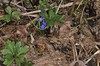 Little Spot Of Purple (Squill or Scilla) (OrlandParkBirdieGirl) Tags: woodland blossom wildflower spring posie forest floor squill scilla lowgrowing bulb perennial