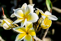 2017 Hawaii-12 (Michael L Coyer) Tags: hawaii2017 lotus nationalflower flower blossom fruit laie laiepoint laiept laiepte