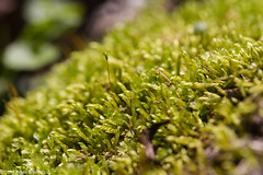 Moss (Arlen Breiholz) Tags: cameras eos7d usa faulkeswoods places iowa plants linncounty