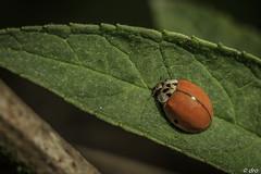 IMG_7746 (Doris Ro) Tags: marienkäfer rot käfer