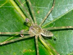 Spinne (Eerika Schulz) Tags: finca ursula spinne spider