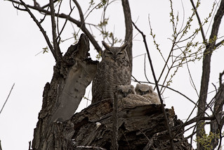 Great Horned Owls 4