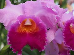Orange into Pink (pilechko) Tags: dukefarms hillsborough nj pink orchid color flower