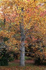 IMG_3163a (ManFromOz) Tags: ©geoffsmith gemaxphotographics autumn blackheath bluemountains autumnleaves