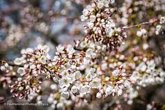 Cherry blossoms 4751 (Paul Henman) Tags: toronto highpark 2017 torontophotowalks cherryblossoms paulhenman topwrs ontario canada paulhenmanphotographyca topw photowalk httppaulhenmanphotographyca