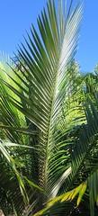 Anglų lietuvių žodynas. Žodis wax-palm reiškia vaškas-palmių lietuviškai.