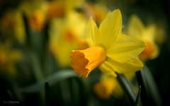 Narcis (Gerrit Veldman) Tags: nederland netherlands bloemen narcis flower narcissus geel yellow olympus epl7 voorjaar lente spring inexplore daffodil