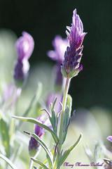 Lavande (Mary-45) Tags: canoneos760d sigma105mmmacro lavande lavender fleur flower plante jardin garden macro effetbokeh purpleflower purple exterieur profondeurdechamp nature