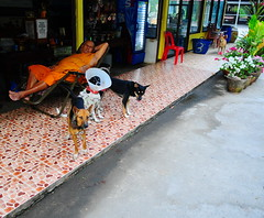 ,, 2-Tone & Friends ,, (Jon in Thailand) Tags: streetphotographyjunglestyle street jungle headmonk dog dogs k9 k9s red blue yellow green orange mama booboo angeleyes 2tone hooligans nikon d300 nikkor 175528 cone conehead littledoglaughedstories