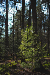 (Future Synae) Tags: vosges forest forêt woods trees nature outdoor matte tree arbre arbres light lumière pine needles sapin