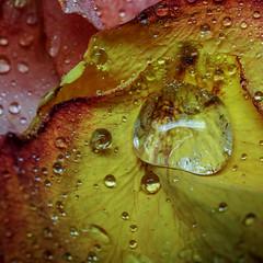 (jtr27) Tags: sdq2124fr1 jtr27 sigma sd quattro sdq foveon 50mm f28 ex dg macro manualfocus rose petal